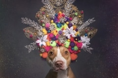 sophie-gamand-pitbulls-flowers-daycare-de-caes-dogsolution-001