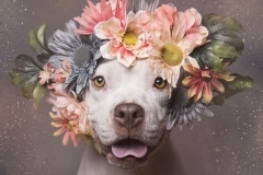 sophie-gamand-pitbulls-flowers-daycare-de-caes-dogsolution-005