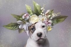 sophie-gamand-pitbulls-flowers-daycare-de-caes-dogsolution-006