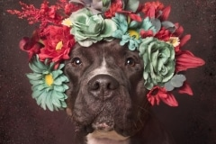 sophie-gamand-pitbulls-flowers-daycare-de-caes-dogsolution-012