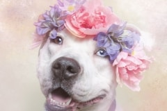 sophie-gamand-pitbulls-flowers-daycare-de-caes-dogsolution-013