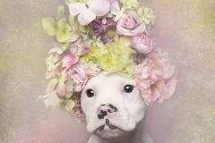 sophie-gamand-pitbulls-flowers-daycare-de-caes-dogsolution-014