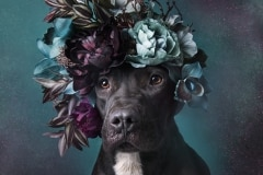 sophie-gamand-pitbulls-flowers-daycare-de-caes-dogsolution-015