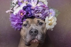 sophie-gamand-pitbulls-flowers-daycare-de-caes-dogsolution-017