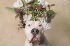 sophie-gamand-pitbulls-flowers-daycare-de-caes-dogsolution-023