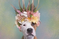 sophie-gamand-pitbulls-flowers-daycare-de-caes-dogsolution-024