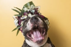 sophie-gamand-pitbulls-flowers-daycare-de-caes-dogsolution-025