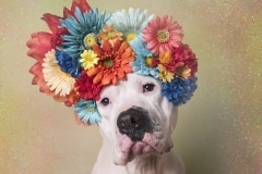 sophie-gamand-pitbulls-flowers-daycare-de-caes-dogsolution-026